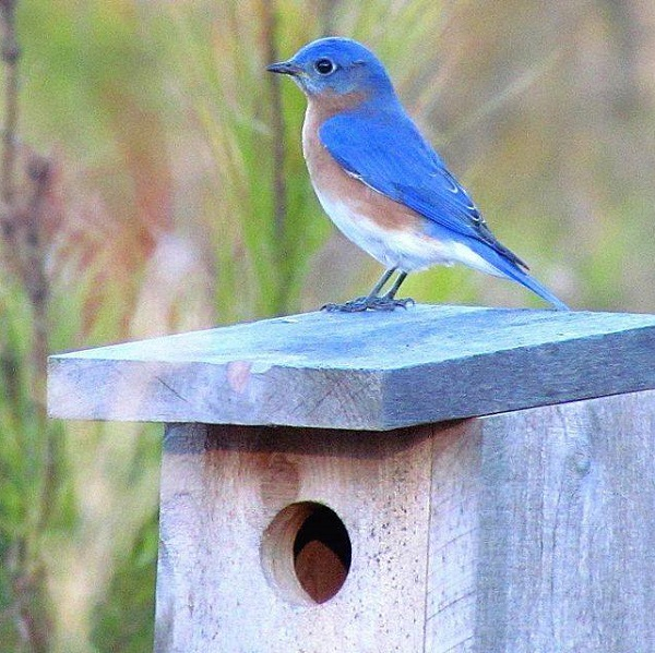 Patrick Ready: How to Attract Eastern Bluebirds (Prairie ...