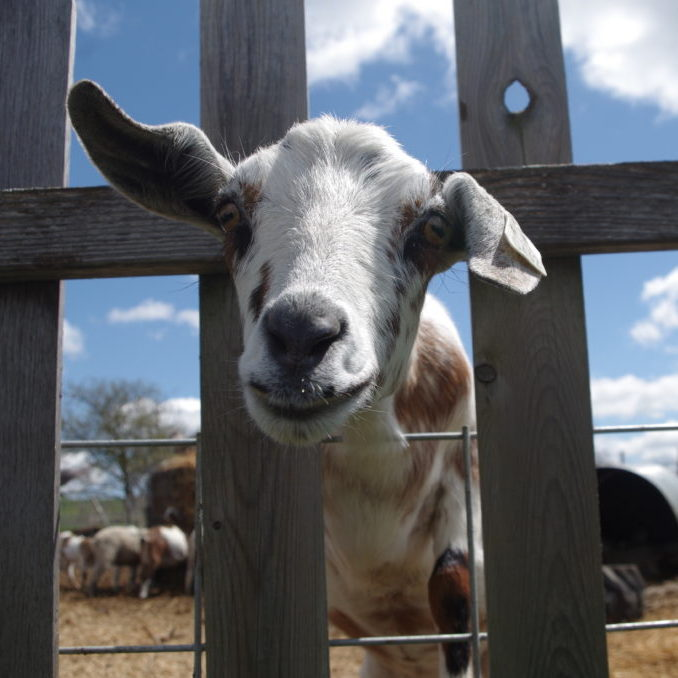 Goat at Double B Farm
